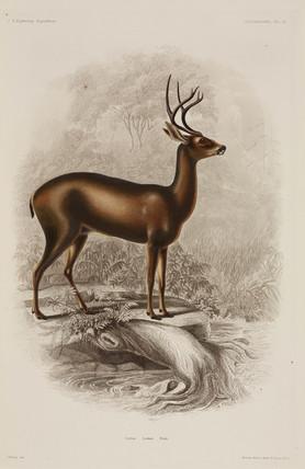 Deer, North America, 1838-1842.