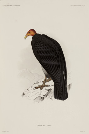 Turkey vulture, Chile, 1838-1842.
