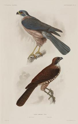 Fiji goshawk, 1838-1842.
