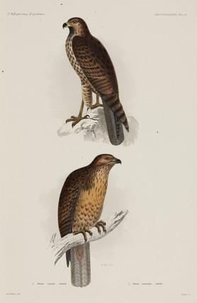 Two hawks, 1838-1842.