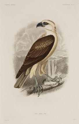 Bird of prey, 1838-1842.