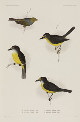 Three types of robin and a white-eye, 1838-1842.