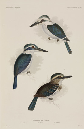 Chattering kingfisher, Polynesia, 1838-1842.