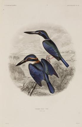 Kingfishers, Fiji, 1838-1842.