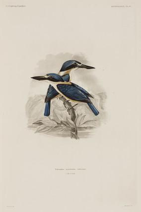 Kingfishers, Samoa, 1838-1842.