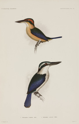 Two types of kingfisher, 1838-1842.