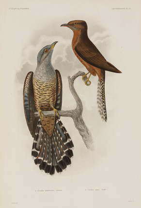 Two types of cuckoo, 1838-1842.