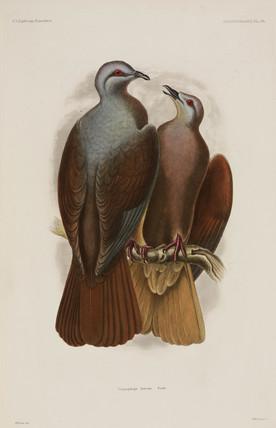 Doves, 1838-1842.