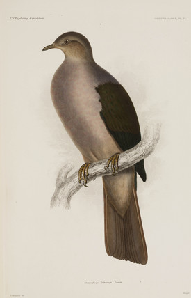 Pigeon, 1838-1842.