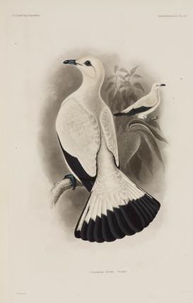 White pigeon, 1838-1842.