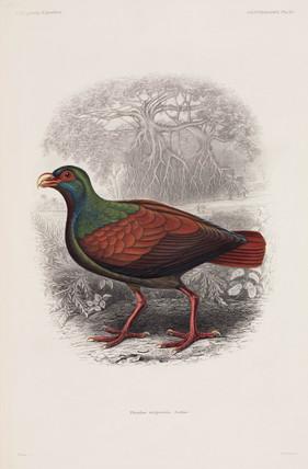 Exotic bird, 1838-1842.