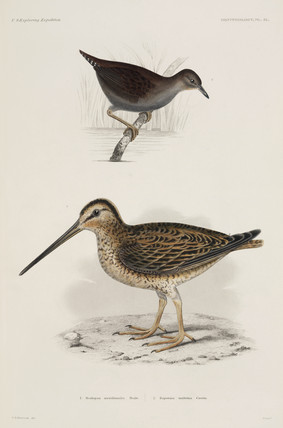 Woodcock and crake, 1838-1842.