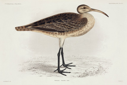 Curlew, 1838-1842.
