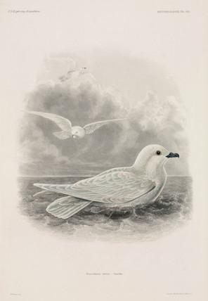 Snowy petrel, 1838-1842.