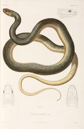 Snake, (Coluber trabalis), Black Sea area, 1837.