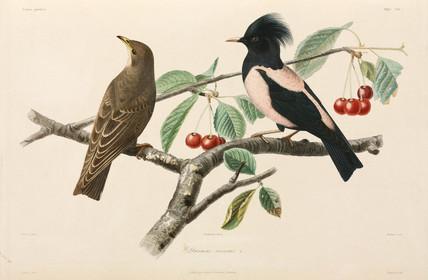 Rose-coloured starlings, Black Sea area, 1837.