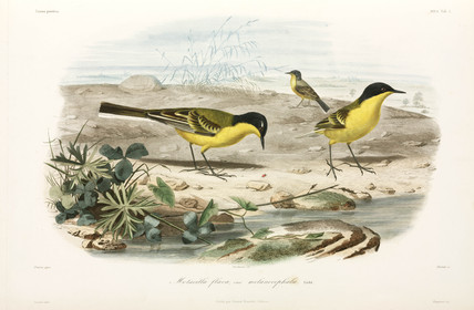 Black-headed yellow wagtails, Black Sea area, 1837.