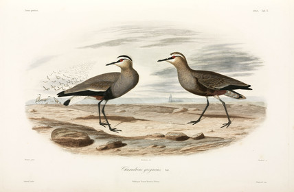 Sociable plovers, Black Sea Area, 1837.