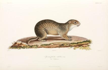 European ground squirrel, Black Sea area, 1837.