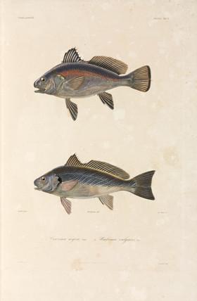 Two Black Sea fish, 1837.