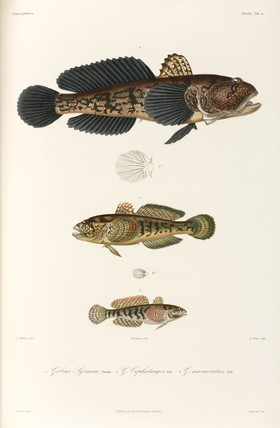 Three types of goby, Black Sea, 1837.