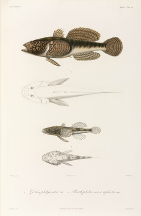 Two types of goby, Black Sea, 1837.