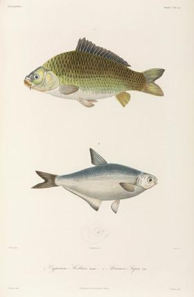 Carp and White-eye bream, Black Sea, 1837.