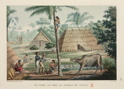 Timorese gathering coconuts, Kupang, 1817-1820.