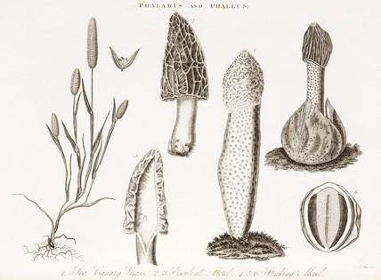 Sea canary grass and fungi, c 1810-1829.