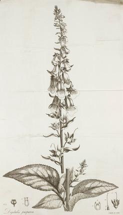 Foxglove, 1785.