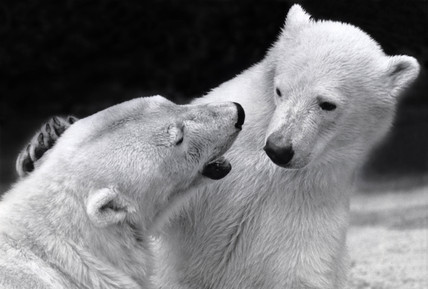 Two captive polar bears, 26 May 1988.