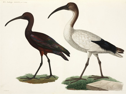 Black and White Ibises, Egypt, 1798.