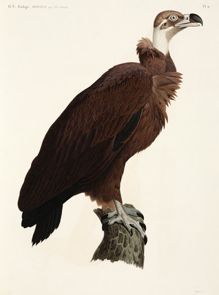 Brown Vulture, Egypt, 1798.