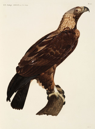 Thebes Eagle, Egypt, 1798.