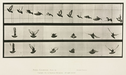 Time-lapse photographs of a pigeon in flight, 1872-1885.