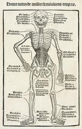 Human skeleton, 1497.