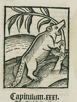 The beaver, 1497.