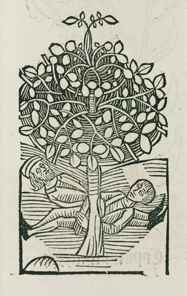 The narcotic 'Bausor' tree, 1497.