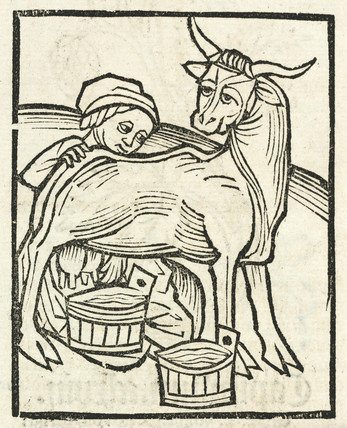 Milking a cow, 1497.