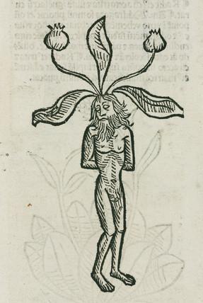 Mandrake, (male form), 1497.