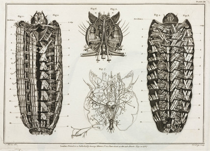Magnified caterpillar, 1787.