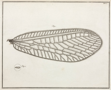 Magnified wing of lacewing, 1787.