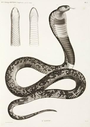 Egyptian cobra, 1813.