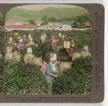 Girls picking tea...', 1904.