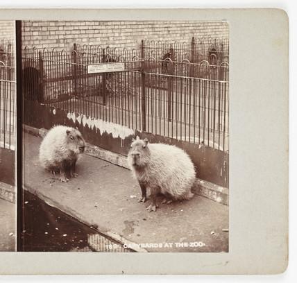 Capybaras at the Zoo', c 1895.