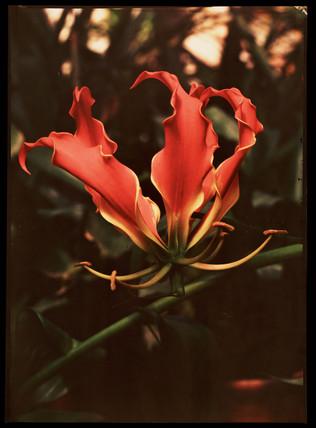 Orchid, c 1940.