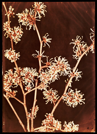 Flowering bush, c 1940.