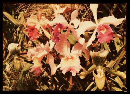 Irises, c 1940.