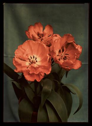 Tulips, c 1940.