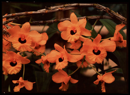 Orange flowers, c 1940.